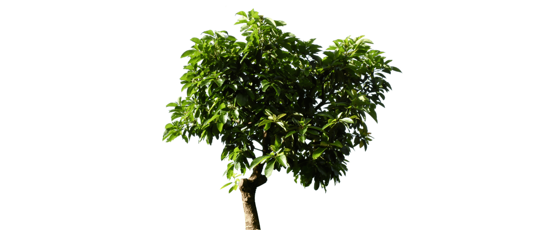 Avocado trees, growing one of the most hyped fruits in the world