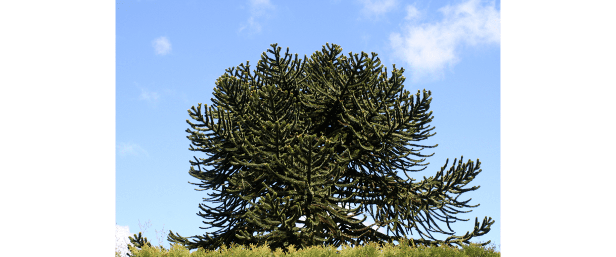 Monkey Puzzle, the tree that outlasted the dinosaurs but might not survive humankind