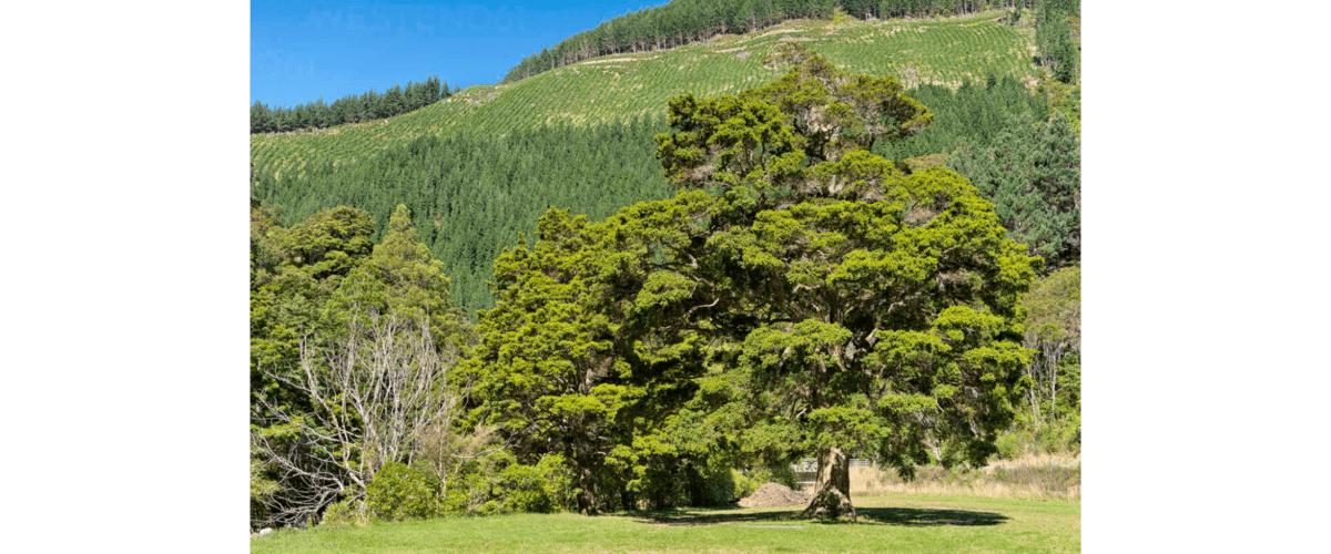 Tōtara trees, a symbol of the Māori culture